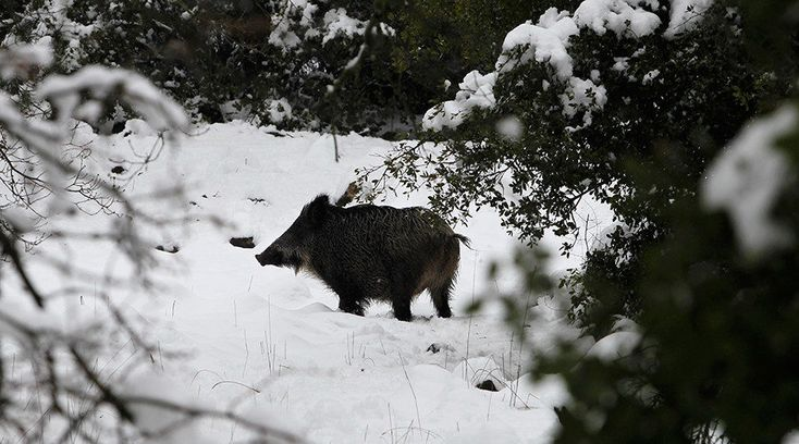 Radioactive wild boars have been detected in Czech forests, some 31 years after the Chernobyl disaster, a veterinary administration official said, adding that they are eating mushrooms that can absorb high levels of radioactive isotopes. The...