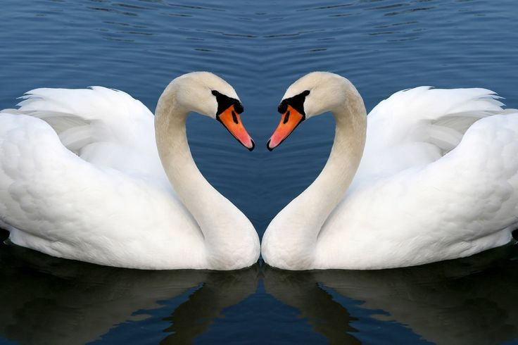 I share with you the beautiful swan scenes in this photo gallery.