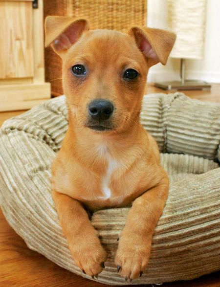 Dachshund mix with miniature pinscher