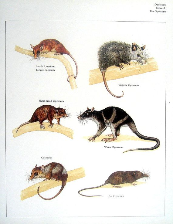 Oposum de impresión oposum del ratón de por mysunshinevintage