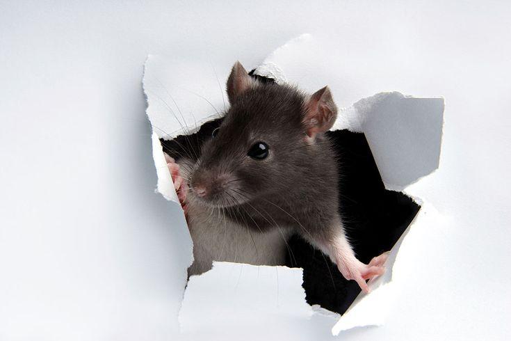 Rotter er overalt, særligt i kloakkerne. Men rotterne flytter også ind i huse, på loftet, i kældre. Lær mere her om, hvordan du kommer dem til livs.