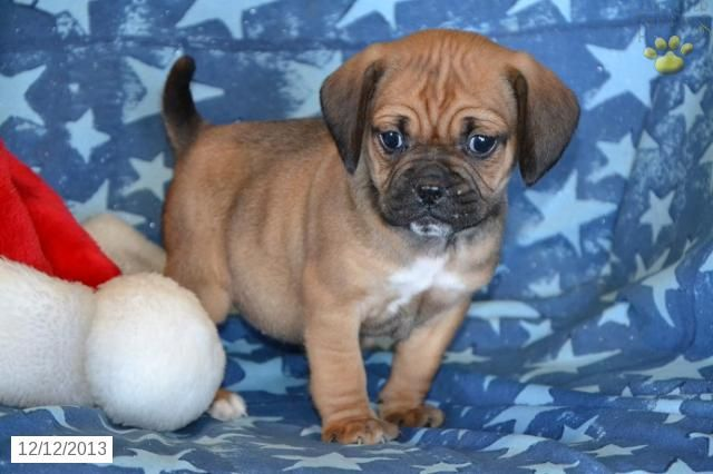 puggle puppy for sale near lancaster pennsylvania 15 best puggles images on pinterest puggle puppies for