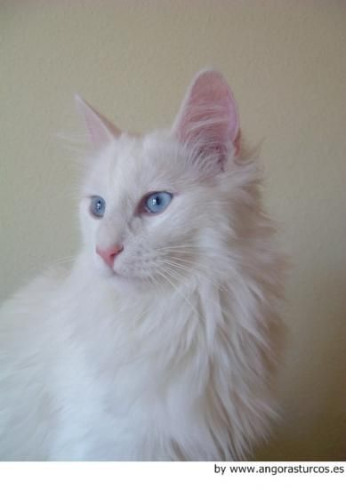Angora Turco, Turkish Angora