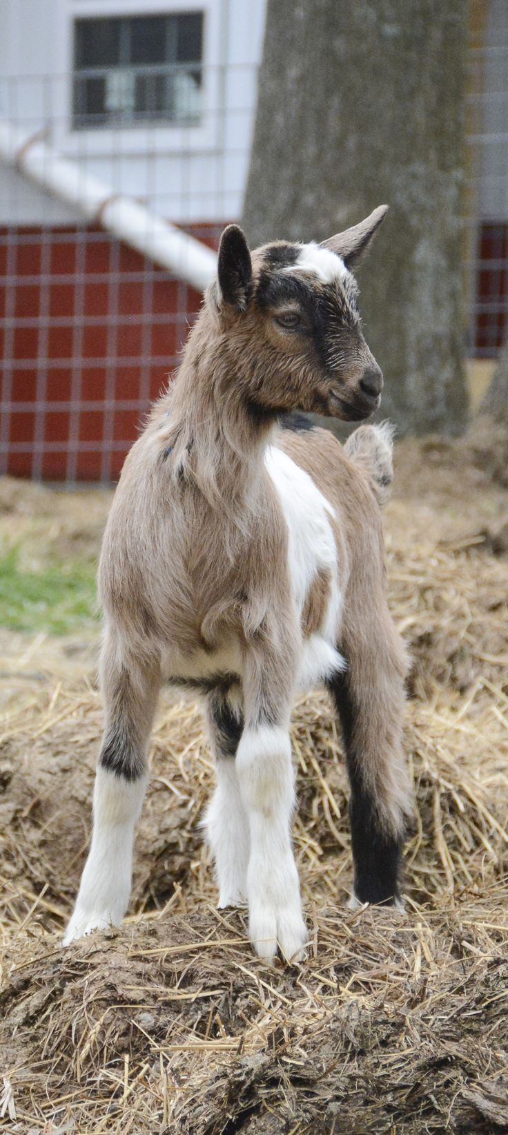 54 best images about Baby Goats 2016 on Pinterest | Baby ...
