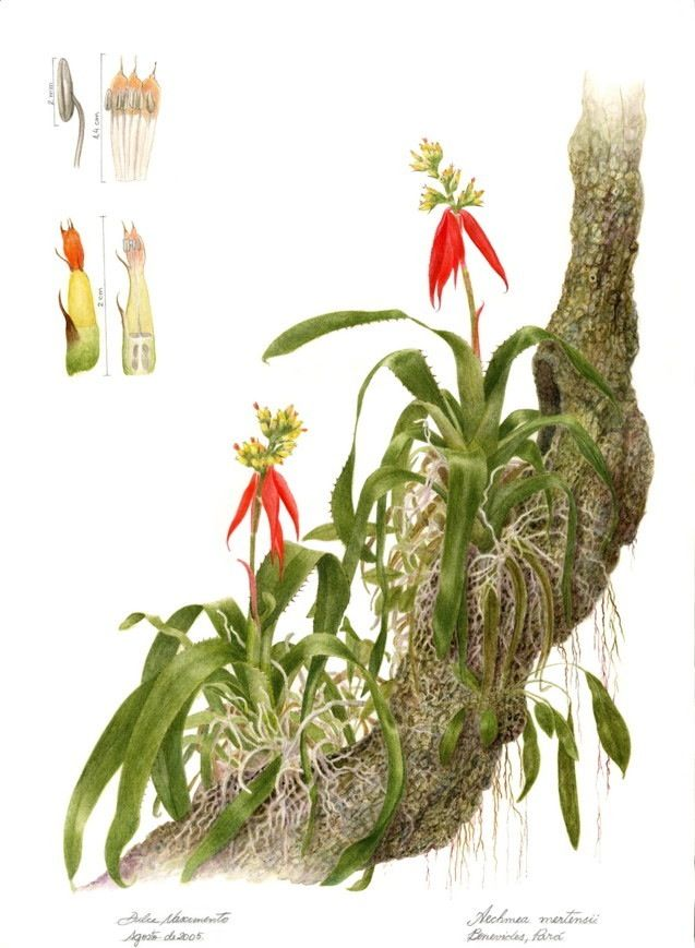 Dulce Nascimento-plantas brasileiras