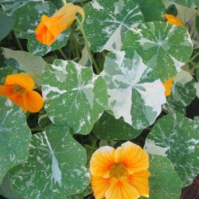 Nasturtium - Alaska - Hawthorn Farm Organic Seeds