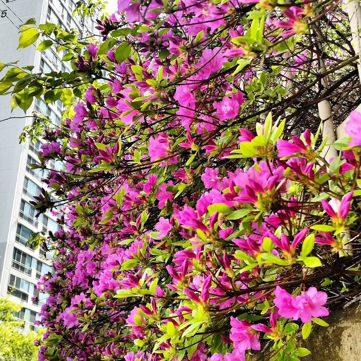 The #cherryblossom season in #Busan is over but only to be replaced by these #purple #flowers all over the city! Just traded one #nature #beauty for another! #sakura