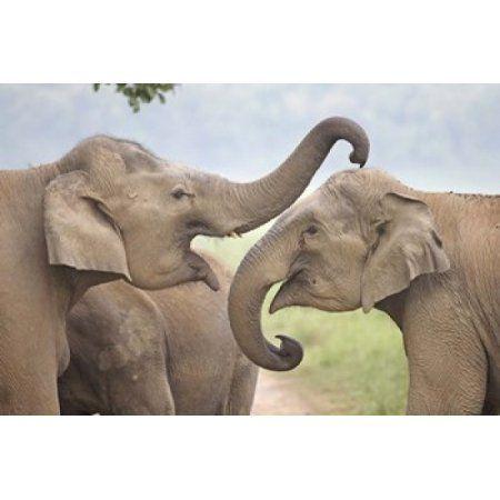 Elephants Play Fighting Corbett National Park Uttaranchal India Canvas Art - Jagdeep Rajput DanitaDelimont (26 x 18)