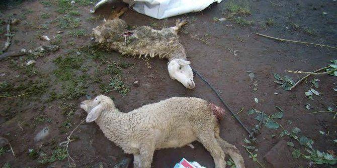 GOSIP TERBARU KAMIPOKER: Warga Bali dihebohkan isu manusia serigala pemakan...