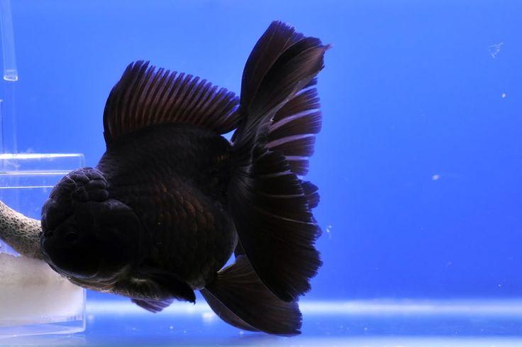 Oranda Gold Fish 9