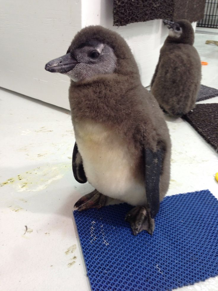 African penguin chicks sure are adorable, aren't they?!