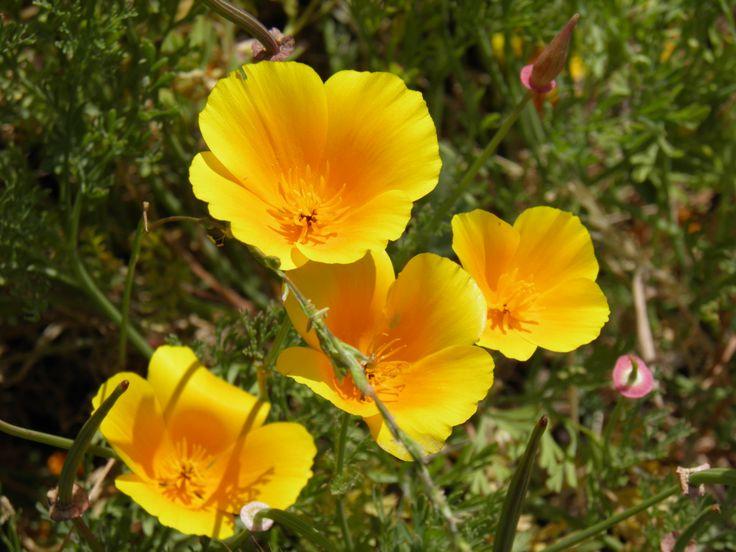 Dedales de Oro flor silvestre Chilena