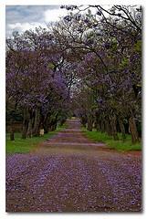 An avenue of Jacaranda trees in Cullinan, South Africa. A perfect romantic wedding shoot.