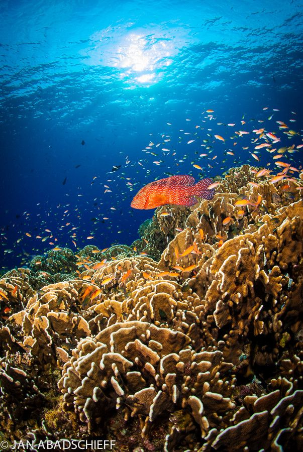 Coral Grouper & Hard Coral Reef