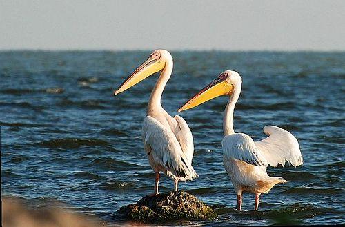 White Pelican in Danube Delta - Romania ...