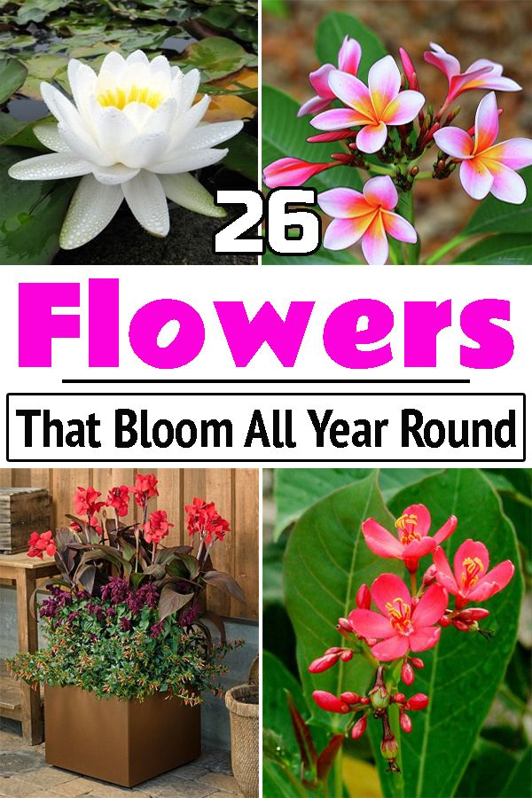 Gorgeous Flowers That Bloom All Year Round In India Evergreen Flowers Patio Flowers Flowering Plants In India