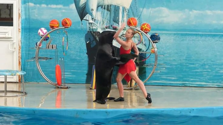 Морской котик танцует танго! Fur seal dancing tango!