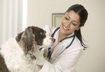 Ушной клещ у собак: причины появления, лечение, профилактика - http://vipmodnica.ru/ushnoj-kleshh-u-sobak-prichiny-poyavleniya-lechenie-profilaktika/