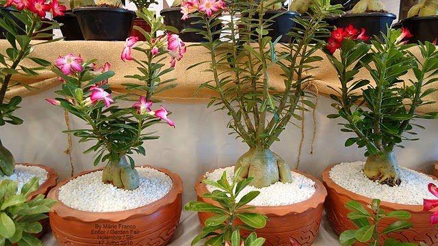 ROSA-DO-DESERTO - (Adenium obesum) - Meu Cantinho Verde