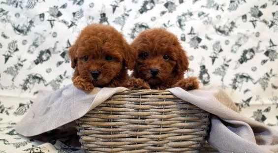 Poodle Toy Puppy For Sale In Los Angeles Ca Adn 57206 On