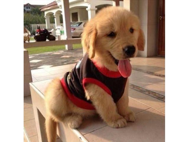 Golden Retriever Pupies For Free Adoption