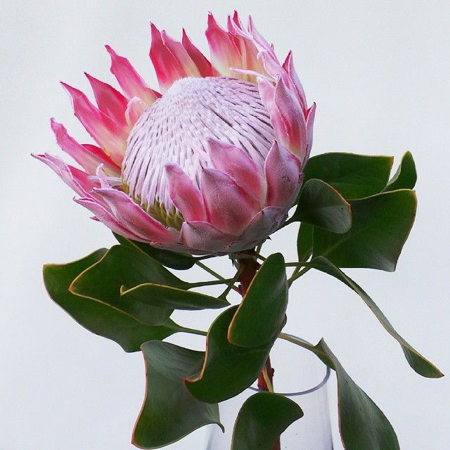 King pink. #kingprotea #protea #proteaceae #flowers