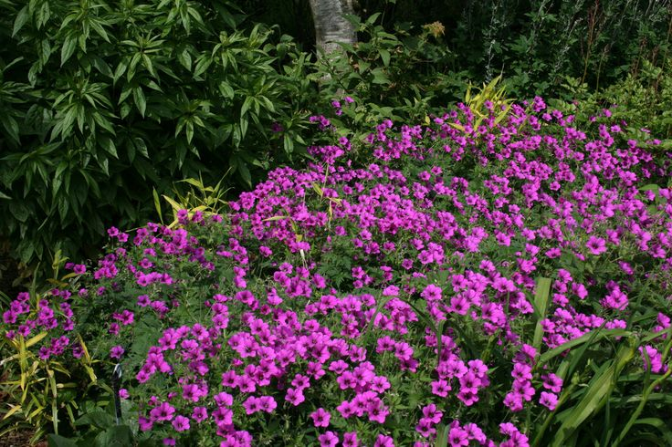 Geranium PATRICIA 'Brempat'