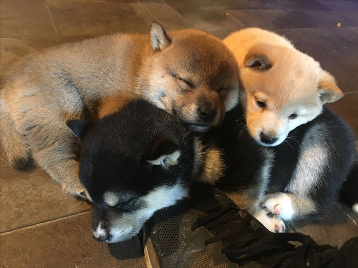 Best Wanwanwo Images On Pinterest Shiba Inu Dogs And Puppies - Ryuji the shiba inus endless expressions will melt your heart