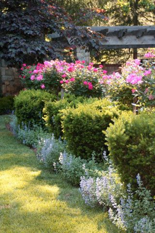 Fritz & Gignoux | Landscape Architects | Shrub roses  behind boxwood, behind annuals | FRONT YARD ROSE BED