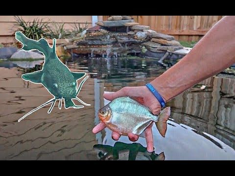 You won't believe what I caught on the mini rod! Someone must have put this fish in this lake! We put this Piranha/Silver Dollar into my backyard pond. Let me know below what exactly you think this fish species is!  Follow me on Instagram: https://www.instagram.com/paulcuffaro/  Camera Gear: Canon G7X Mark ii and Gopro Hero 3 White Edition  Thanks for Watching! Like, Share, and SUBSCRIBE for more videos!