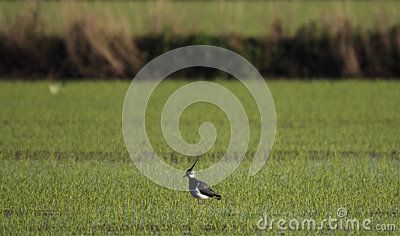 Pavoncella - northern lapwing - vanellus