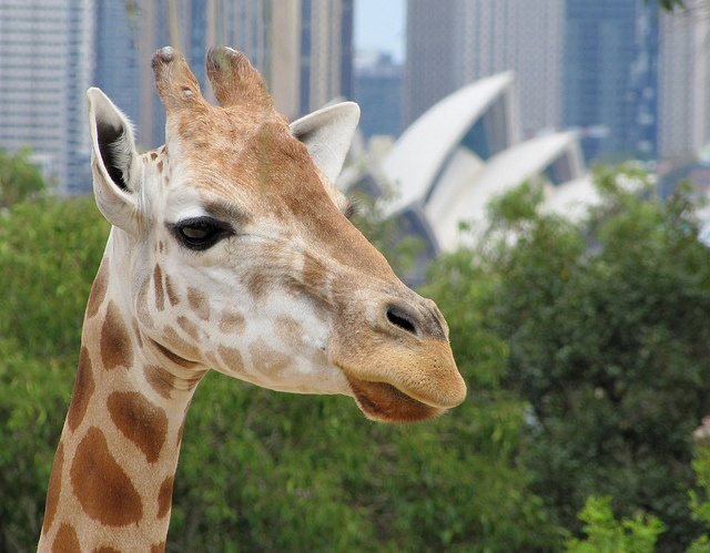 Giraffe with Opera House by Flickr user LSydney, 2011