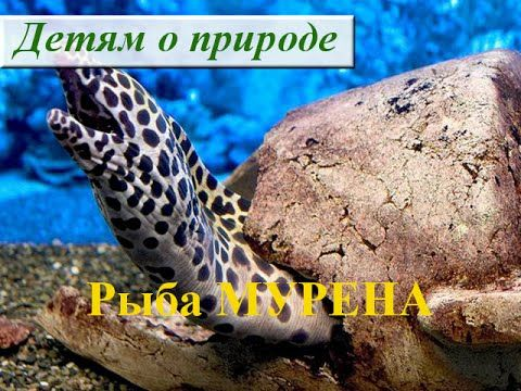 Рыба МУРЕНА в Красном море