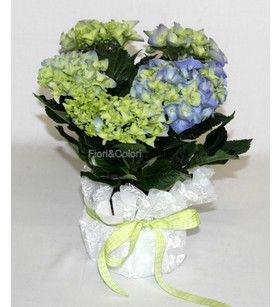 Un'abbondante fioritura di una mini ortensia, in tre colori blu,bianco e rosa. Disponibile con coprivaso in tessuto di color bianco,fucsia/bianco, lilla/bianco ben rifinito avente un contenitore interno per l'acqua