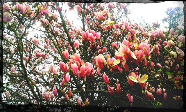 Magnolio rosa / 10 febrero