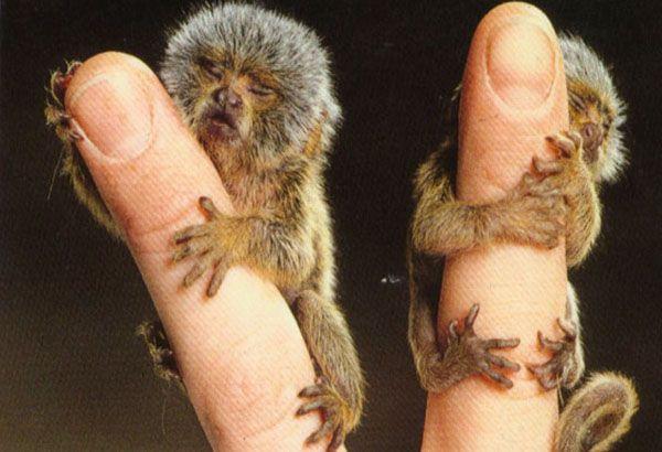 Le plus petit singe du monde : vous allez adorer le ouistiti pygmée ! - Linternaute