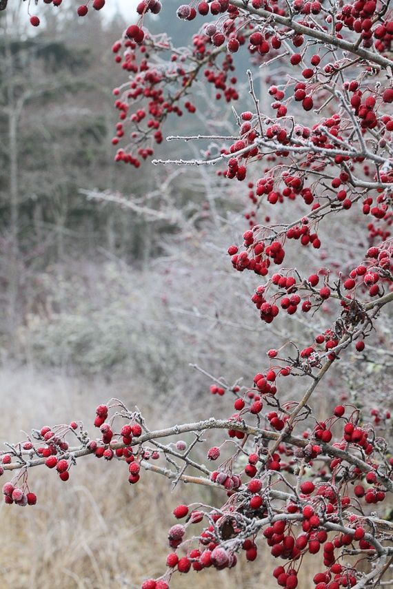 Winter berries. This is growing - holly so far, what plant is this though?