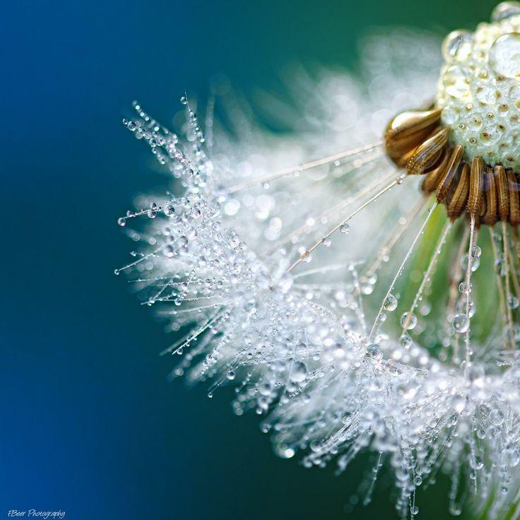 Love macros!  Frank Beer: Beautiful, Dew Drop, Dandelions, Dewdrop, Macros Photography, Flowers, Mornings Dew, Sweet Peas, Natural