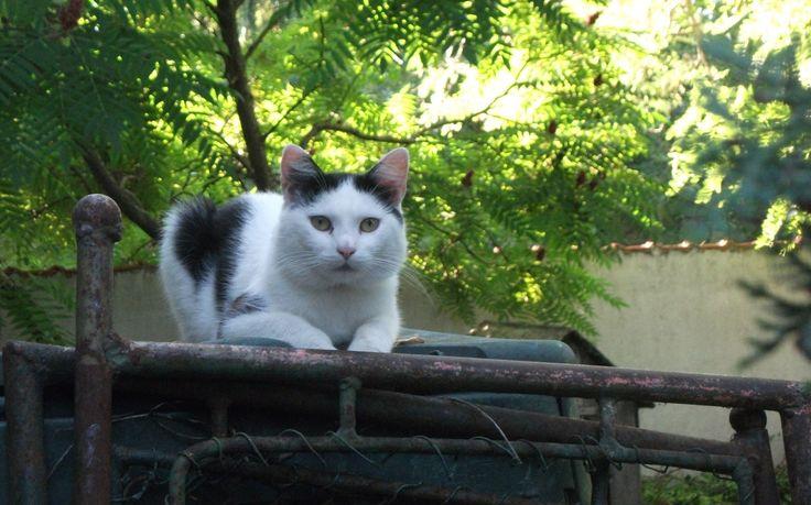 Szotyi cat