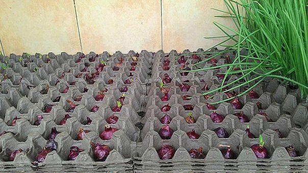 Интересный способ выращивания лука. А вы знали?)...