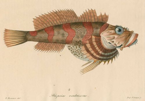 1000 images about scientific illustration fish on for Irish lord fish