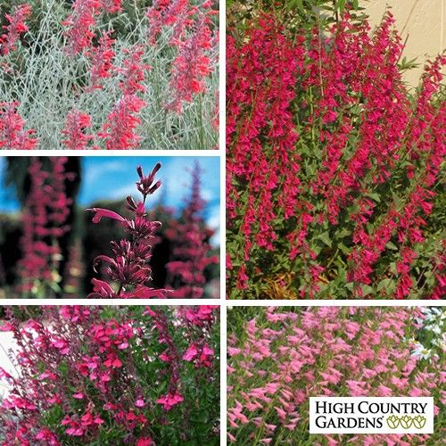 Enjoy watching hummingbirds flit from flower to flower all summer long. This collection is best suited for the dryer growing conditions of the west and full sun. Choice of 5 or 15 plants. Save $5-$15 off the single plant price.
