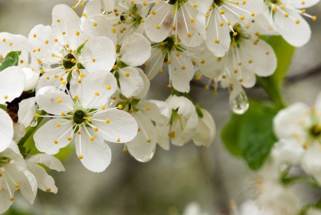 Damson Day – Heralding the arrival of spring! | English Lakes Blog