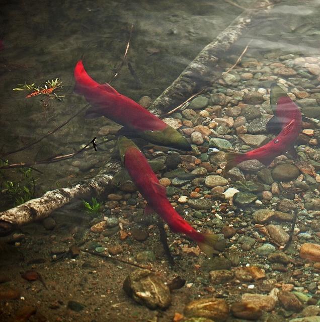 Spawning Sockeye Salmon