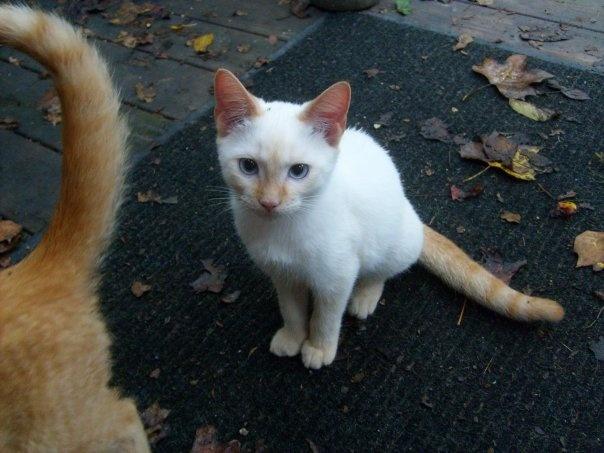 Flame Point Siamese Cats For Sale