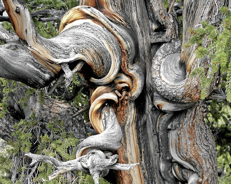 Bristlecone Pine - i Am Not Part Of History - History Is Part Of Me Photograph