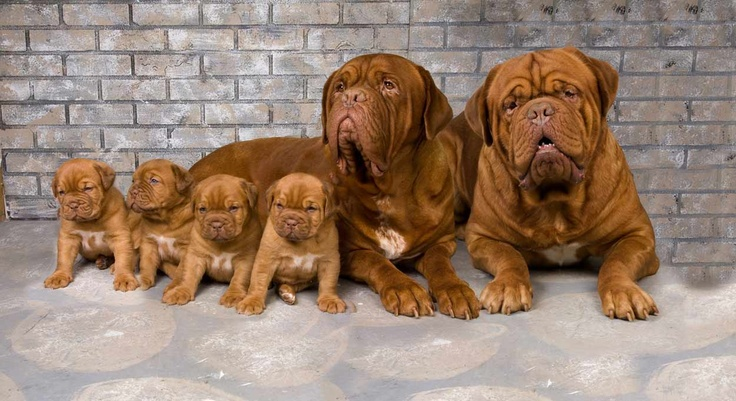 Puppies ♥ #FrenchMastiff.