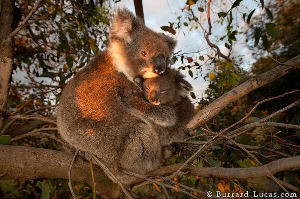 A mother koala hugging her baby on Kangaroo Island in Australia.