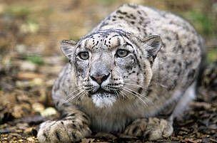 WWF Denmark - Klimaændringer truer sneleoparden