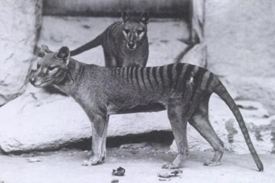 Cryptozoologie cryptozoology thylacine loup marsupial tigre de tasmanie Richard Freeman Philippe Mind Crypto-Investigations Tasmanie Australie novembre 2013